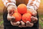 """Aumenta la richiesta di arance spagnole, Confagricoltura Catania: """"Attenzione alle frodi"""""""