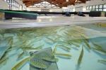 Mangimi sostenibili per salvare pesci da estinzione