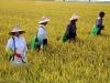 Coldiretti,in Italia +800% riso da Birmania,invasione import