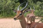 Aumentano le specie a rischio estinzione, ora anche antilopi e frassini