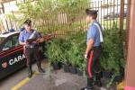 Una serra in casa con 200 piante di marijuana a Carini, arrestato un ventiquattrenne