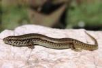 Il Gongilo, rettile delle terre aride: è a serio rischio per gatti e pesticidi