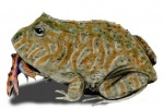 Il Beelzebufo, la rana vissuta 68 milioni di anni fa che ingoiava i dinosauri