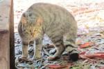 Avvistato un gatto selvatico a Pergusa: la specie è in via di estinzione