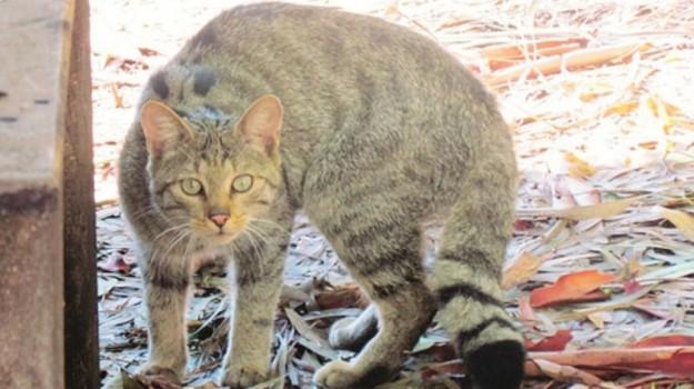gatto selvatico pergusa, Enna, Società