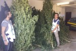 Oltre 400 piante di canapa indiana sequestrate a Carini: avrebbero fruttato almeno un milione