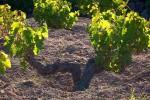 Pantelleria celebra il passito, protagonisti gli alberelli Unesco