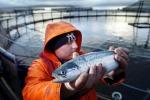 Il 50% dei salmoni allevati per il ripopolamento è sordo