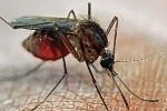 Malaria: 650 casi all'anno in Italia, due episodi su tre al Nord