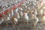 Unaitalia, da animalisti immagine distorta degli allevamenti di polli
