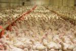 I 'lager' dei polli, video shock di ong negli allevamenti