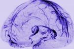 Scoperta la 'rete fognaria' del cervello, drena i rifiuti