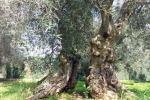 Pronta la mappa del Dna dell'ulivo