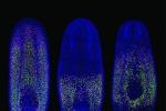 Un verme per 'decifrare' i segreti delle metastasi