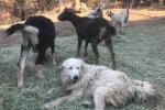 California, cane-eroe resta col gregge, lo salva da incendio