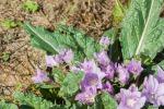 Mandragora, la pianta dalle proprietà allucinogene