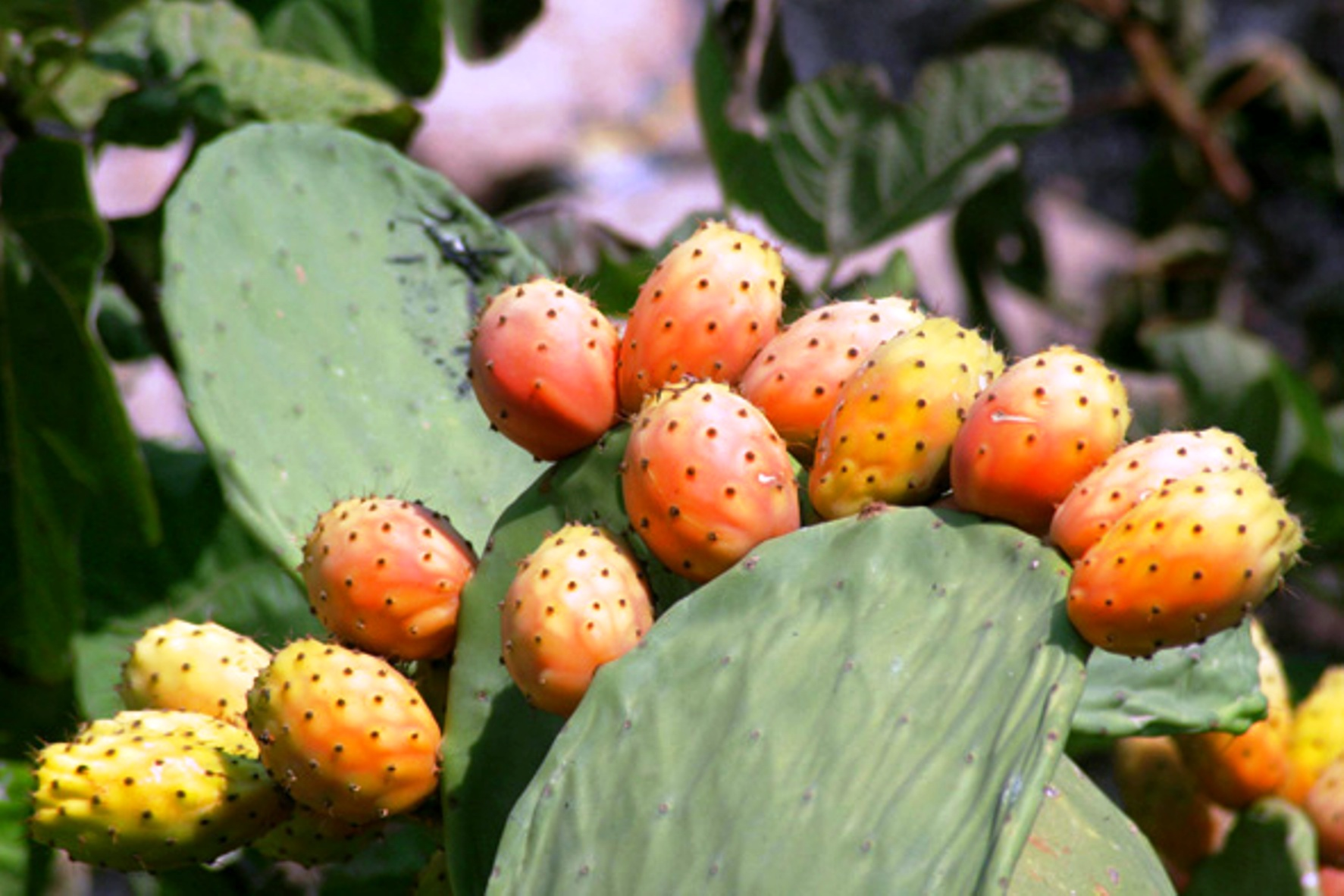 A roccapalumba si celebra il ficodindia tre giorni di for Tre giorni per il giardino 2017