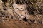 Ripresi per la prima volta i gatti delle sabbie: il video dal Sahara di due ricercatori