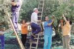 Ladri di olive in azione nelle campagne nissene