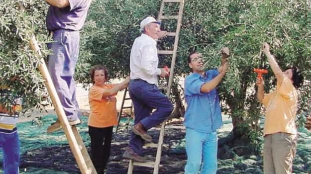 campagne nissene, ladri di olive, Caltanissetta, Cronaca