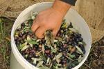 Coldiretti, scatta raccolta olive Marche con -30% olio