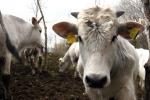 Alimentare:Coop riduce uso antibiotici in allevamenti bovini
