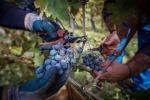 Vino: Censis, dalle cantine cooperative 6 calici su 10