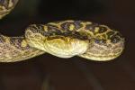 Ricostruita l'evoluzione del veleno di serpente