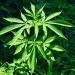 Camera,ok proposta legge su uso medico Cannabis,va al Senato