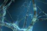 Il censimento dei neuroni indica la differenze tra maschi e femmine (fonte: Scott Ingram)