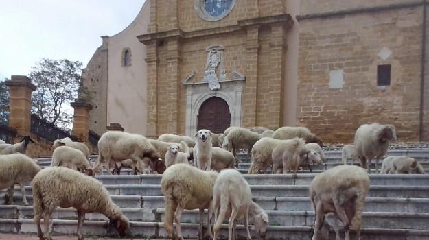 cattedrale agrigento chiusa, pecore cattedrale agrigento, Agrigento, Cronaca