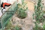 Scoperta piantagione di canapa a Campobello di Mazara