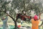 Furti di olive a Scicli, in ginocchio i produttori