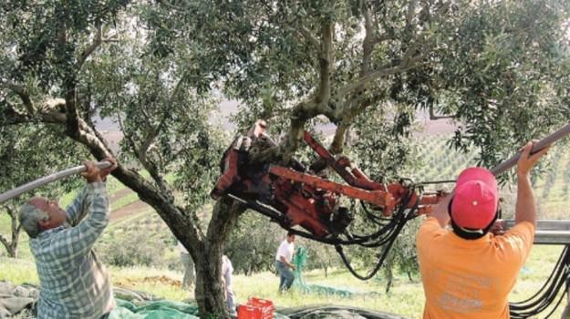 furti olive scicli, Ragusa, Cronaca