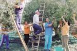 Produzione di olive, nella Valle del Belice è previsto un calo del 60%