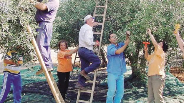 olive valle del belice, Trapani, Economia