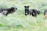 Randagi sbranano un capretto del gregge a Butera, pastore li uccide: denunciato
