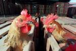 Aviaria: primo caso di trasmissione umana del 2018