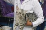 Egyptian Mau, un gatto dai faraoni alla principessa russa