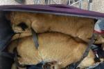 Due leoncini in una valigia, kuwaitiano arrestato al Cairo