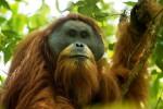 Scoperta in Indonesia una nuova specie di orango ma è già la più minacciata al mondo