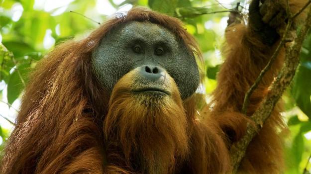 orango specie scimmia, Sicilia, Società