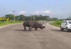 Arriva il rinoceronte, alle auto non resta che battere in ritirata