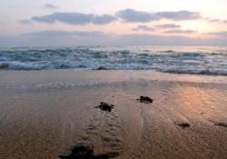 Castellaneta Marina, l'eccezionale schiusa delle uova di tartaruga