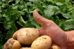 Ogm: Coldiretti, flop in Europa, semine in soli due Paesi