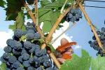 Vino: Coldiretti, conclusa vendemmia scarsa, -26% bottiglie