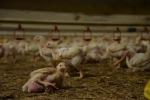 Aviaria:Regione Lazio,'confino'pollame e stop trasporto uova