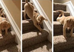 Il cucciolo ha paura delle scale, prova scendere ma alla fine...