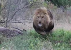 Il leone contro il fotografo: il ruggito fa paura