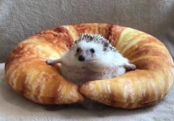 Il riccio non riesce a uscire dal croissant: il video virale